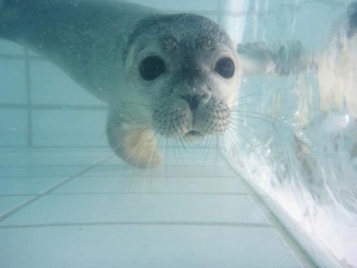 Teddy, de adoptie zeehond van CS.RIGGING in Zeehondencentrum Pieterburen